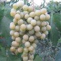 frumoasa-albe-1