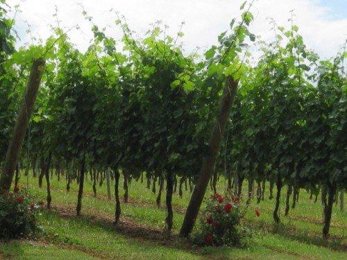 восстановление винограда поврежденного морозами