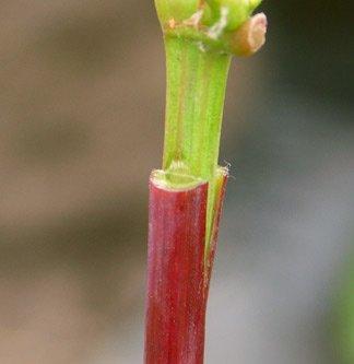Зеленая прививка винограда
