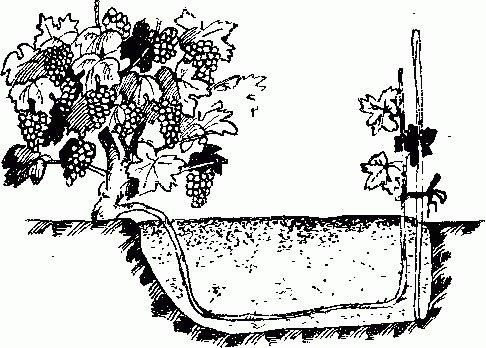 Выращивание зелёных отводков