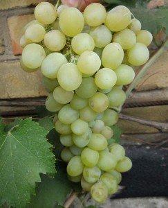 Сорт винограда Болгария
