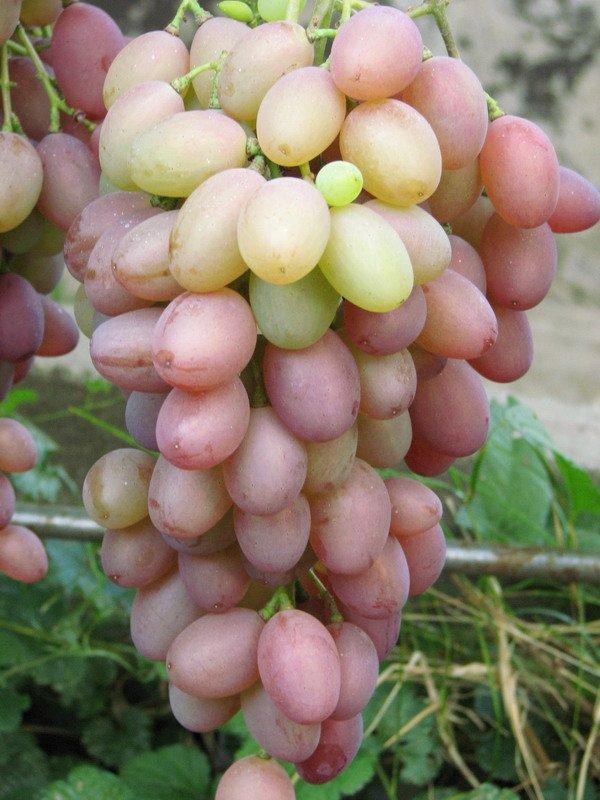 Сорт винограда Денал