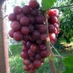 Виноград Нина