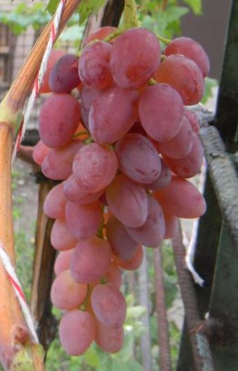 Сорт винограда Кинг Руби
