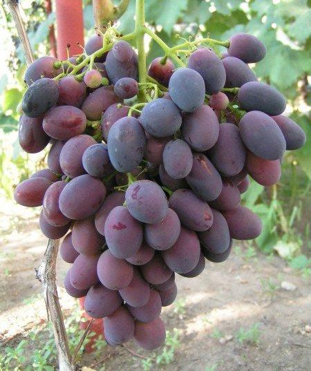 Сорт винограда Калиста
