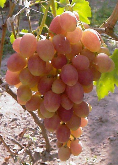 Сорт винограда Ксения