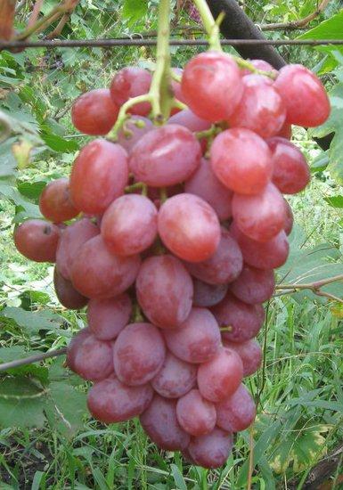 Сорт винограда Симпатия