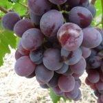 Виноград Нинель