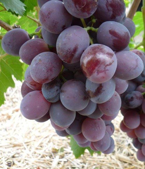 Сорт винограда Нинель