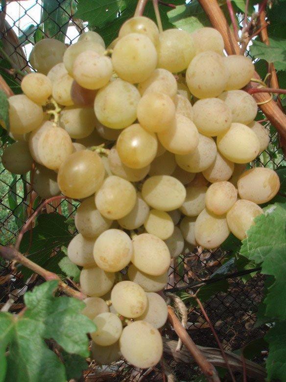 Сорт винограда Розовая дымка