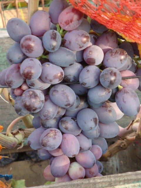 Виноград Орион