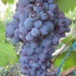 Виноград Богун