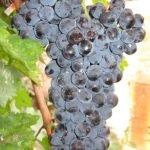 Виноград Фортуна