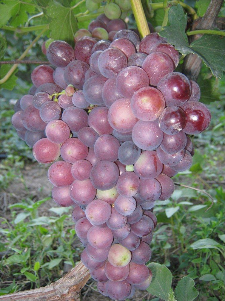 Сорт винограда Импульс