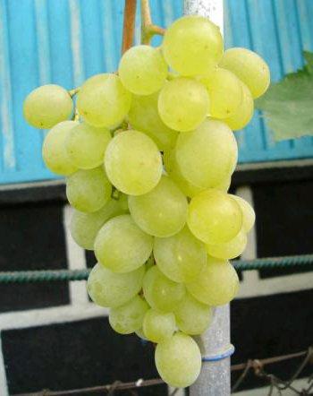 Сорт винограда Русмол