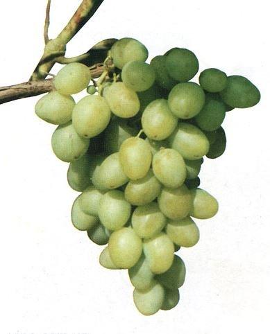 Сорт винограда Кобзарь
