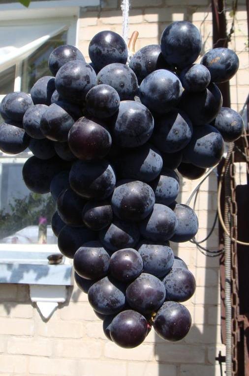 Сорт винограда Айдар
