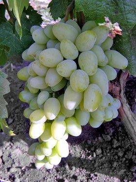 Сорт винограда Венечный