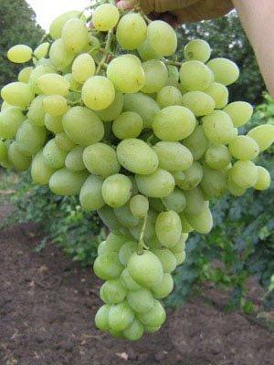 Виноград Надежный