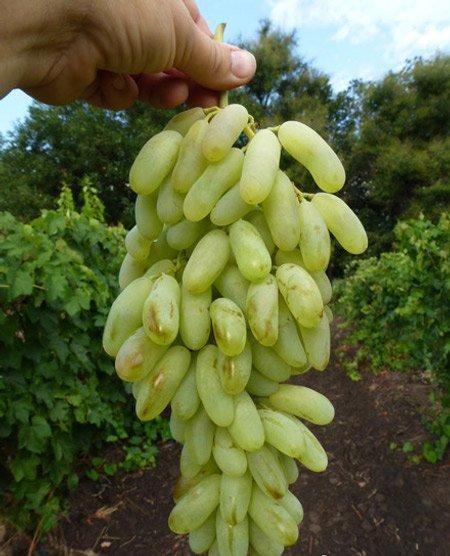 Виноград Хусайне белый