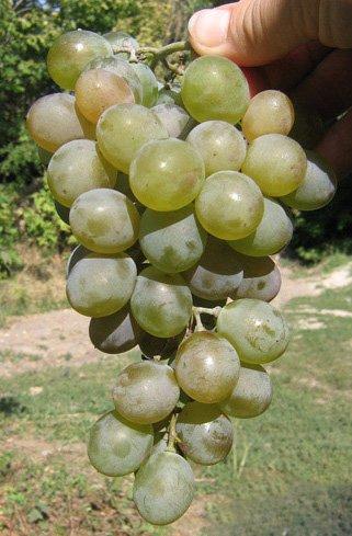 Виноград Сенека