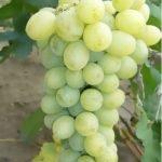 Виноград Иванна