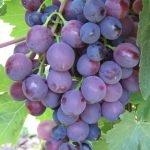 Виноград Сверхранний красный мускат