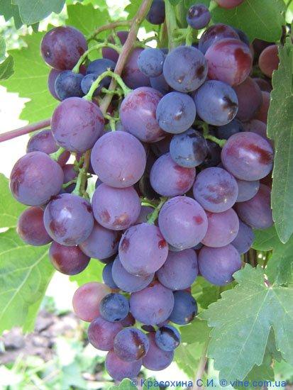 Сорт винограда Сверхранний красный мускат