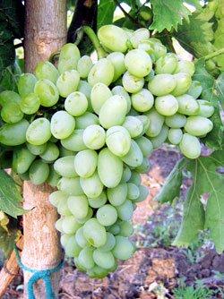 Сорт винограда Восторг овальный