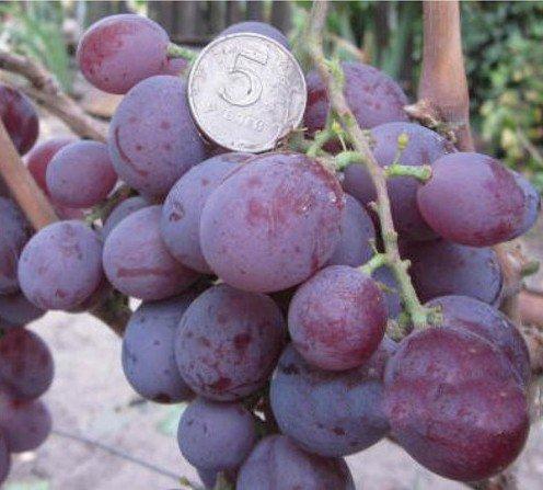 Виноград Чара