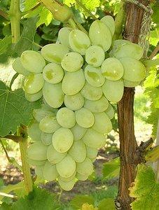 Виноград Золотой дон
