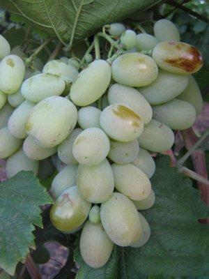 Виноград Бежевый