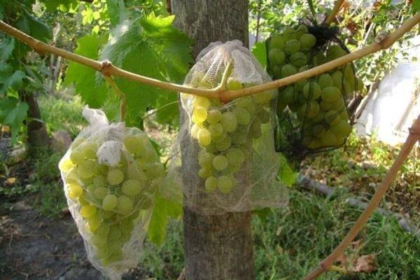 мешки для защиты винограда от птиц