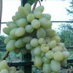 Виноград Вега