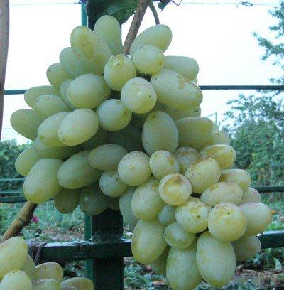 Сорт винограда Вега