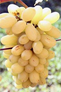Виноград Силиция