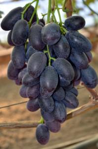 Виноград Алвика