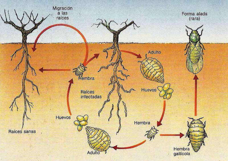 Корневая филлоксера винограда