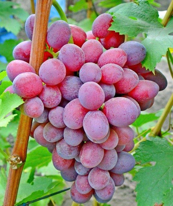 Сорт винограда Подарок Ирине
